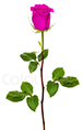 Pink Rose Online delivery in Nagpur - Shopnideas