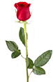 Red Rose Online delivery in Nagpur - Shopnideas